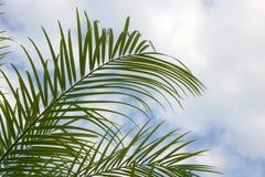 Frondas de la palma de la palma fotografía de archivo
