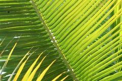 Frondas de la palma que brillan intensamente Fotografía de archivo