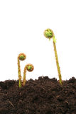 Frondas do Fern Imagens de Stock