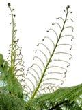 Frondas novas da mola do fern de árvore de prata no branco foto de stock royalty free