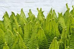 Frondas verdes da samambaia Fotos de Stock