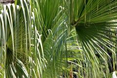 Frondas verdes de la palma con textura de los ricos Foto de archivo libre de regalías