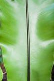Fronde brillante de l'usine de luka, fougère au Niué image libre de droits
