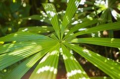 Fronde della palma Fotografie Stock Libere da Diritti