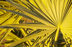 Fronde della palma Immagine Stock
