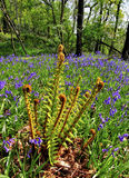 Fronde e Bluebells del Bracken fotografie stock libere da diritti