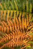 Fronde I de fougère d'automne Images libres de droits