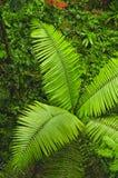 Frondes de paume comme vu du sentier de randonnée de forêt tropicale à la réservation biologique de Trimbina photographie stock