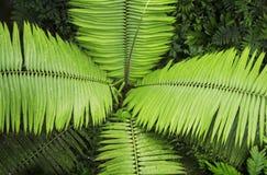 Frondes de paume comme vu du sentier de randonnée de forêt tropicale à la réservation biologique de Trimbina images stock