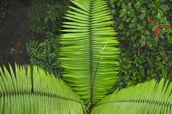 Frondes de paume comme vu du sentier de randonnée de forêt tropicale à la réservation biologique de Trimbina image libre de droits