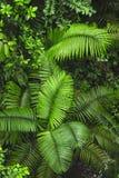 Frondes de paume comme vu du sentier de randonnée de forêt tropicale à la réservation biologique de Trimbina photographie stock libre de droits
