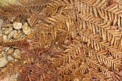 Frondes sèches tombées de fougère d'arbre Photo stock