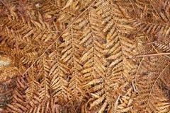 Frondes sèches tombées de fougère d'arbre Photographie stock