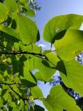 Frondoso verde Immagini Stock