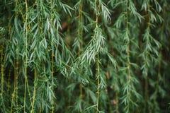 Fronds дерева плача вербы Стоковое Фото