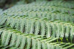 Fronds 1 папоротника дерева Стоковая Фотография RF