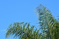 Fronds пальмы ферзя Стоковое Изображение