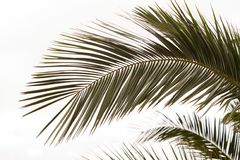 Fronds of a Date Palm royalty free stock images