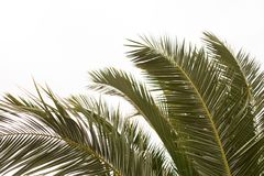 Fronds of a Date Palm royalty free stock photos