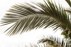 Fronds of a Date Palm royalty free stock image