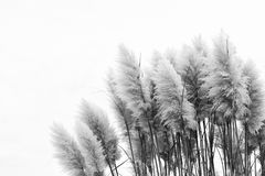 Fronds of ornamental grass against white royalty free stock photography