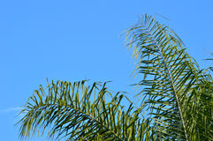 Fronds of a queen palm tree Stock Image