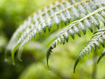 Fronds of Wet ferns Royalty Free Stock Photos