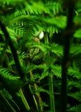 蕨frondulet 免版税库存照片