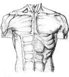 Front. Pen and ink anatomical drwaing of the back of a man showing muscles, illustration was drawn by photographer Royalty Free Stock Image