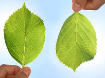 Front and back of a Hydrangea leaf Stock Photography