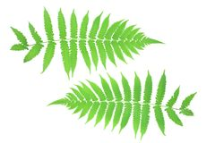 Front and back leaves ferns Stock Photo
