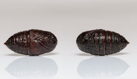 Front and back pupa of Eupterotidae moth Stock Image