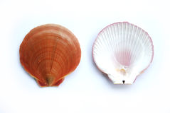 Front Back Sea Shell Royalty Free Stock Photo