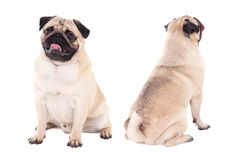 Front and back view of friendly pug dog sitting isolated on whit Royalty Free Stock Image