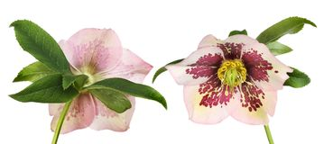 Hellebore front and back royalty free stock photos