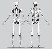 Front and back view of a human skeleton Royalty Free Stock Photos
