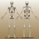 Front and back view of a human skeleton Stock Images