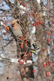 Front and Back Views of Bohemian Waxwings. A front view and a back view of the plumage of Bohemian Waxwings which helps to clearly identify them in Littlefork Stock Images