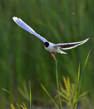 The front of Black-headed Gull (Larus ridibundus) flying Royalty Free Stock Photography