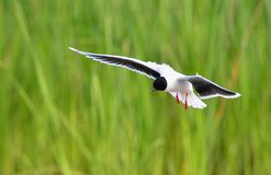 The front of Black-headed Gull (Larus ridibundus) flying Stock Photo