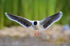 The front of Black-headed Gull (Larus ridibundus) flying Royalty Free Stock Photo