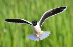 The front of Black-headed Gull (Larus ridibundus) flying Stock Image