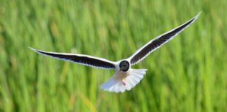 The front of Black-headed Gull (Larus ridibundus) flying Stock Photography