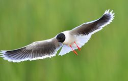 The front of Black-headed Gull (Larus ridibundus) flying Stock Images