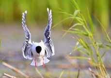 The front of Black-headed Gull (Larus ridibundus) flying Royalty Free Stock Image
