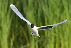 The front of Black-headed Gull (Larus ridibundus) flying Royalty Free Stock Photos