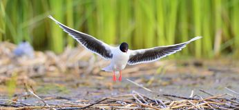 The front of Black-headed Gull (Larus ridibundus) flying Stock Photos