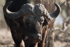 Front buffalo in Chobe riverfront Stock Images