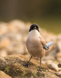 Front close-up of Azure-winged Magpie Stock Image