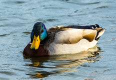FRONT CLOSE UP OF MALLARD DUCK Stock Image